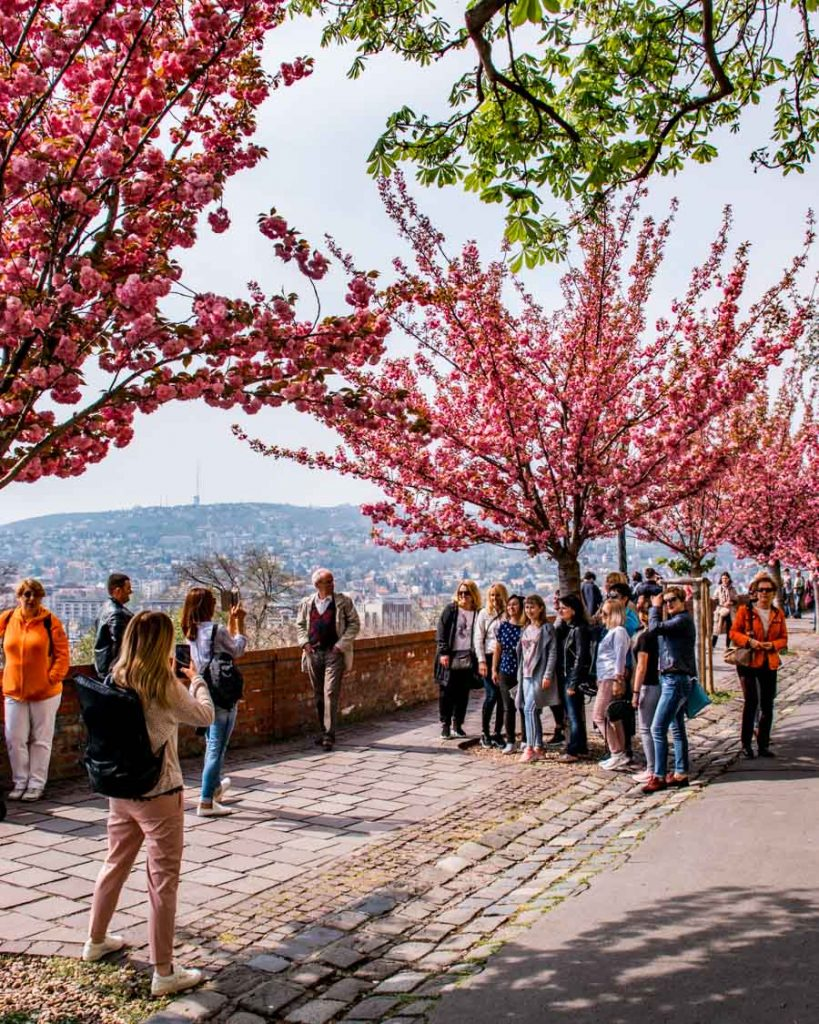Tourists are enjoying the sight of the blossoming trees
