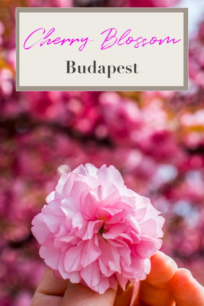 cherry tree blossoming Budapest